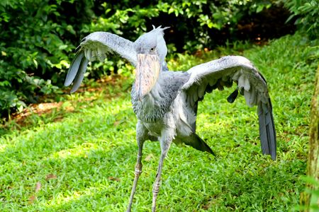 Shoebill about to fly off photo
