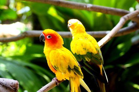Beautiful Bright Yellow Sun Conures photo