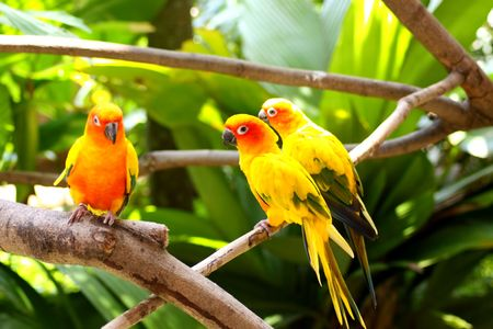 Beautiful Bright Yellow Sun Conures Stock Photo - 5409325