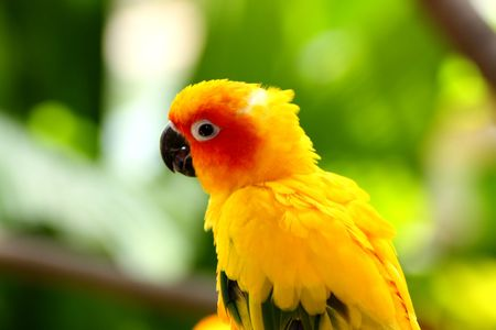Beautiful Bright Yellow Sun Conures