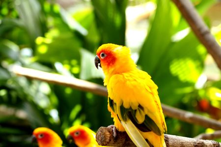 Beautiful Bright Yellow Sun Conures photo