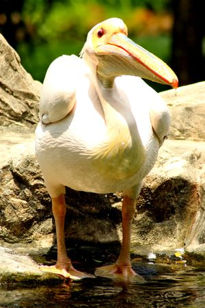 Happy Bubbly Chubby White Pelican photo