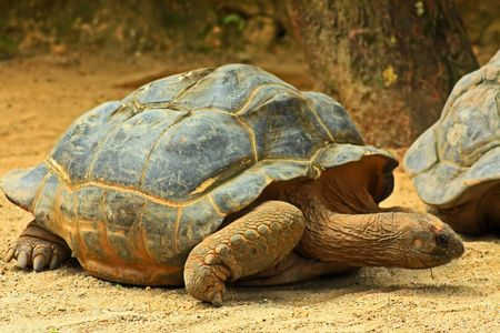 Giant Tortoise Close Up photo