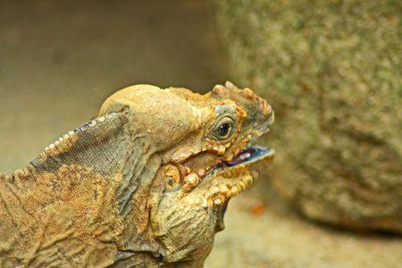 cameleon: Bornean Marsh Close Up