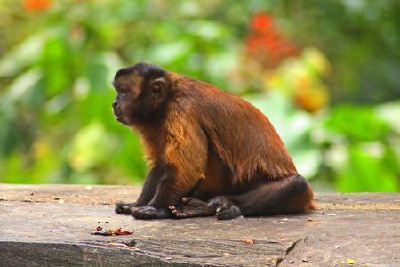Monkey griseus