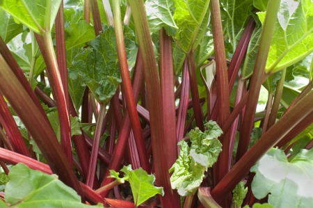 rheum: Ripe red stems of rhubarb (Rheum rhabarbarum) growing in vegetable garden