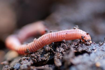 lombriz de tierra: Cerca macro foto de una lombriz de tierra desliz�ndose por el suelo mojado
