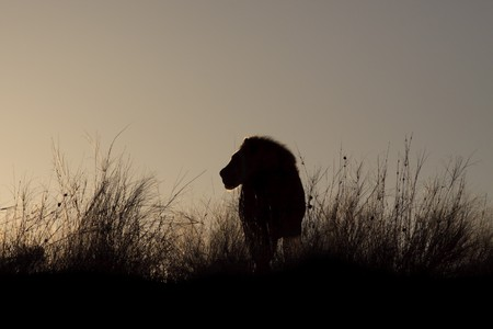 Rim light outlining a male lion, at sunrise photo