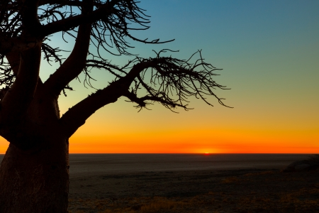 kalahari: Boabab tree looking at the sunrise