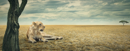 Lioness enjoying a rest in the shade of a tree on the african plains Stock Photo