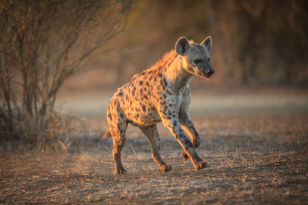 hyena: hyena Stock Photo