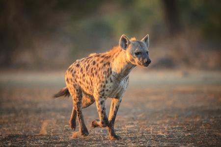 hyena Archivio Fotografico