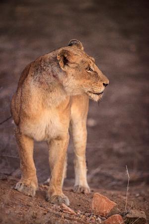 lioness: lioness
