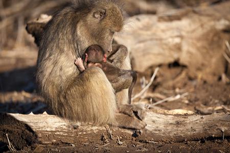 baboon: baboon