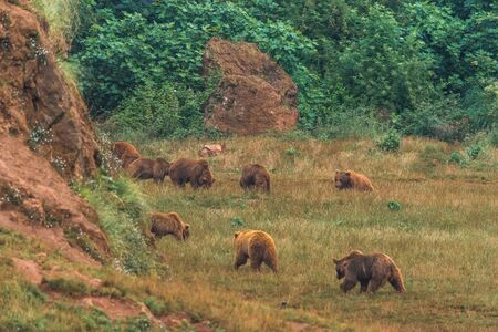 Wild brown bears in a nature reserve
