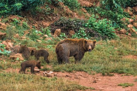 Wild brown bear and their puppies in a nature reserve