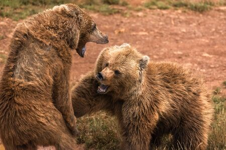 Two brown bear fight in a nature reserve Banco de Imagens