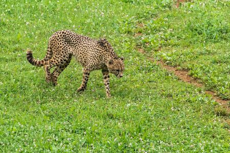 Lonely wild cheetah on the grass in Africa