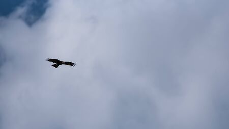 Black kite flying over the cloudy sky