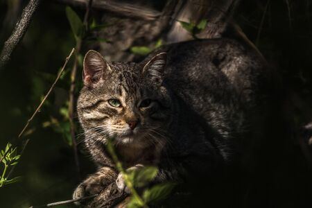 Wild cat crouched in the shadow of vegetation into the forest of the center of Spain