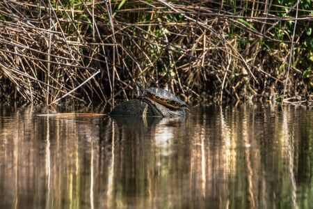 Wild turtle in sunlight in a river of the center of Spain