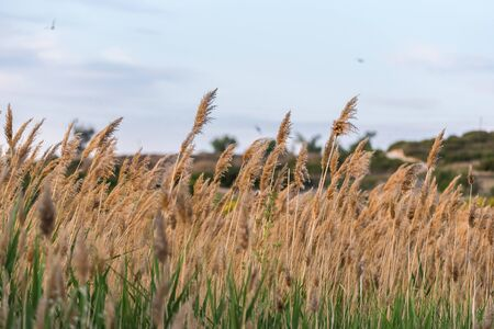 Background of rushes and vegetation typical of the riverside and lagoons of the center of Spain