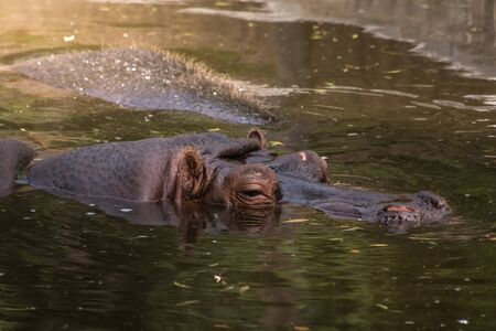 Hippopotamus submerged in water in the Zoo of Madrid,Spain