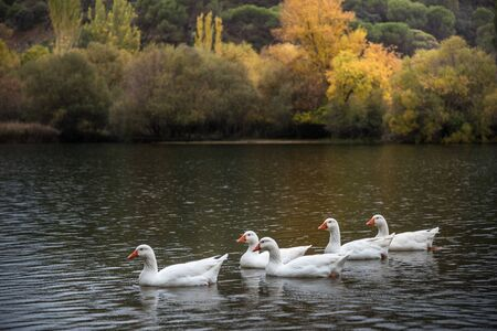 Several white geese swim in a lake in Autumn in Spain