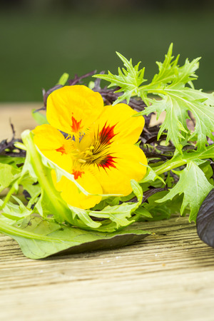 peppery: Selection of leafy green wild herbs and a colorful yellow Nasturtium flower with its pungent peppery taste for use as healthy salad ingredients piled on a wooden table