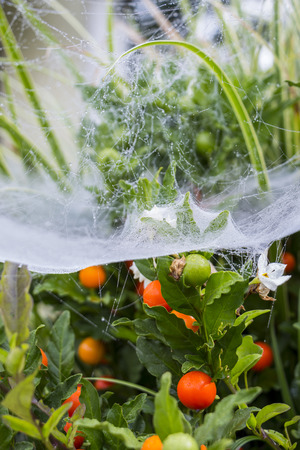 glistening: Beautiful delicate spider web with water droplets from early morning dew or rain glistening on the silk threads suspended from the leaves of a tree in a garden or park