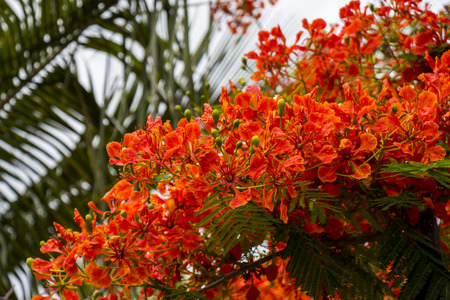 flamboyant: Vivid orange red flowers of Delonix regia, otherwise known as Flamboyant, Gulmohar and Royal Poiciana, growing in Mauritius alongside a palm tree Stock Photo