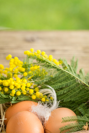 straw twig: Three farm fresh brown hens eggs and dainty white feathers in straw decorated with a twig of colorful yellow mimosa flowers in a conceptual still life