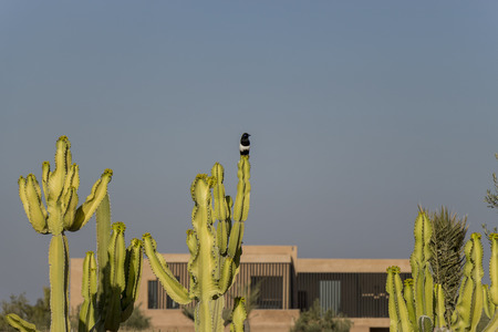 Wild bird perched on a spiny desert cactus outside a home in Marrakesh, Morocco which adapted to the arid conditions by replacing leaves with spines to limit water transpiration