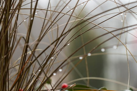 inclement: Close up Shot of Wet Grasses with Raindrops During Autumn Season in Germany. Stock Photo