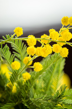 wattle: Clusters of globular round vivid yellow Mimosa flowers with fresh green foliage over a pale blue sky with selective focus to some of the balls of flowers