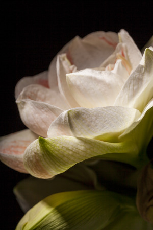 Detail van een bonte witte bloem van de Amaryllis van het geslacht Hippeastrum op grote schaal gekweekt als kamerplant voor zijn grote sierbloemen over een donkere achtergrond
