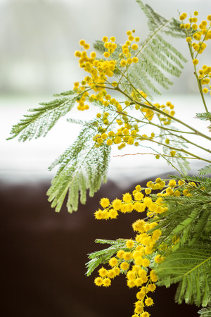 globular: Clusters of globular round vivid yellow Mimosa flowers with fresh green foliage over a pale blue sky with selective focus to some of the balls of flowers