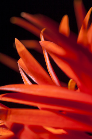 Detail of an orange red Spider Gerbera daisy with its distinctive long petals, a popular ornamental flower used in floristry and flower arranging photo