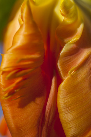 flamboyant: Flamboyant orange parrot tulip, an ornamental hybrid named for its beak-like shape and curled edges to the petals resembling birds feathers, a popular flower for floristry and symbolic of spring