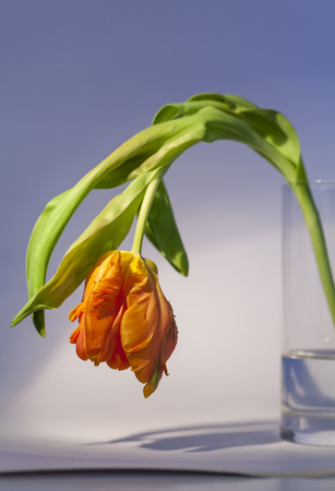 floristry: Flamboyant orange parrot tulip, an ornamental hybrid named for its beak-like shape and curled edges to the petals resembling birds feathers, a popular flower for floristry and symbolic of spring