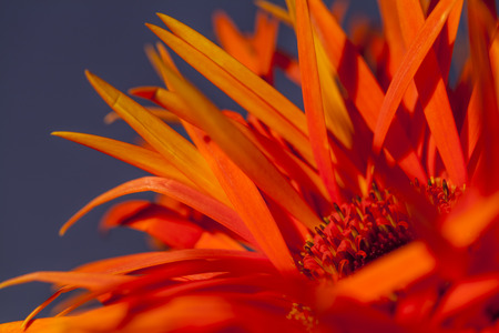 floristry: Detail of an orange red Spider Gerbera daisy with its distinctive long petals, a popular ornamental flower used in floristry and flower arranging
