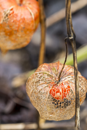 alkekengi: Close up Dried Physalis Flowering Plant at the Grassy Garden