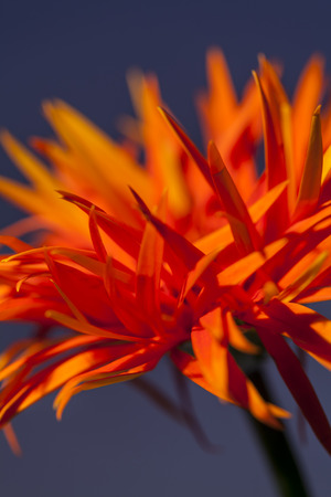 barberton daisy: Detail of an orange red Spider Gerbera daisy with its distinctive long petals, a popular ornamental flower used in floristry and flower arranging