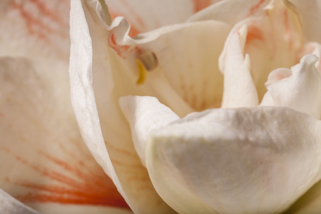 belladonna: Detail of a variegated white Amaryllis flower of the genus Hippeastrum widely cultivated as a houseplant for its large ornamental flowers over a dark background