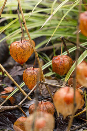solanaceae: Close up Dried Physalis Flowering Plant at the Grassy Garden