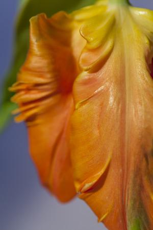 curled edges: Flamboyant tulipano arancione pappagallo, un ibrido ornamentale chiamata per la sua forma a becco e bordi ai petali simili a uccelli piume, un fiore popolare per i fioristi arricciata e simbolica della primavera Archivio Fotografico