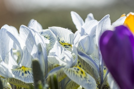 iris reticulata: Colorful pattern of lines and dots on yellow on the throat of a white spring flower to attract insects to the pollen for pollination Stock Photo