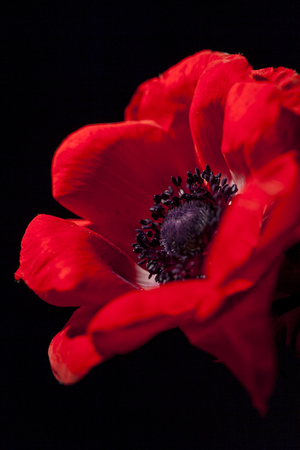 showy: Macro detail of a vivid red garden anemone, Anemone coronaria, cultivated for its showy flowers showing the center of the flower with the pistils and achenes
