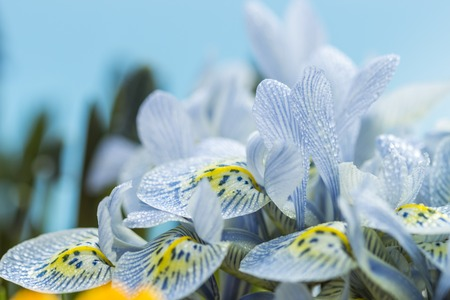 reticulata iris: Colorful pattern of lines and dots on yellow on the throat of a white spring flower to attract insects to the pollen for pollination Stock Photo