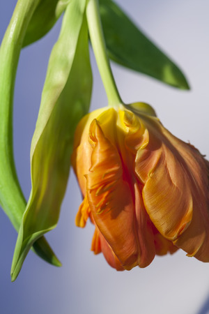 curled edges: Flamboyant orange parrot tulip, an ornamental hybrid named for its beak-like shape and curled edges to the petals resembling birds feathers, a popular flower for floristry and symbolic of spring